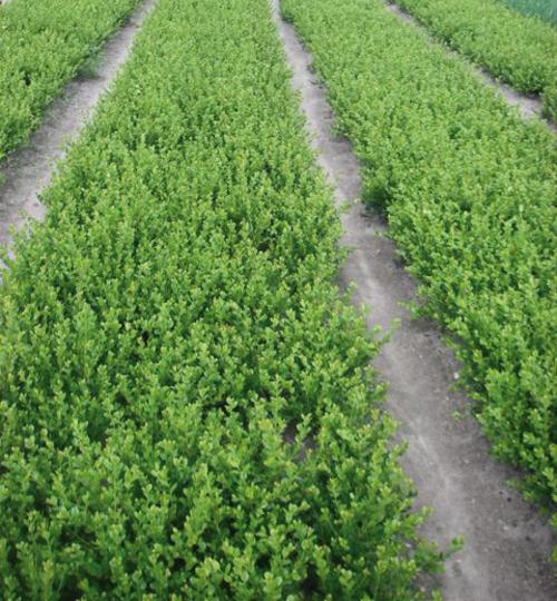 Plantes haies vivaces donc buxus ou buis taxus ou if et thuja - Haie de buis hauteur ...