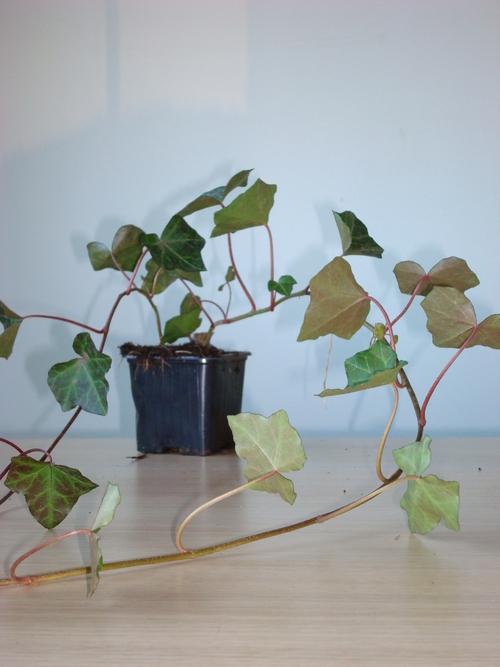 Plantes couvre sol comme lierre lavande pervenche pour massif mur bordure ou all e - Lierre rampant couvre sol ...